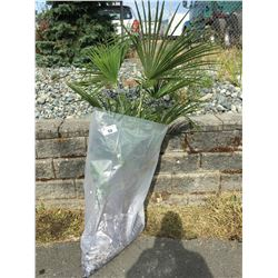 WINDMILL PALM TREE (BARE ROOT READY FOR RE-PLANTING) Q