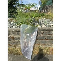 WINDMILL PALM TREE (BARE ROOT READY FOR RE-PLANTING) R