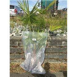 WINDMILL PALM TREE (BARE ROOT READY FOR RE-PLANTING) T