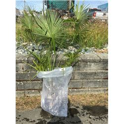 WINDMILL PALM TREE (BARE ROOT READY FOR RE-PLANTING) U