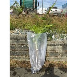 WINDMILL PALM TREE (BARE ROOT READY FOR RE-PLANTING) Y