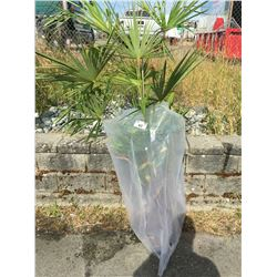 WINDMILL PALM TREE (BARE ROOT READY FOR RE-PLANTING) BB