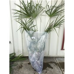 WINDMILL PALM TREE (BARE ROOT READY FOR RE-PLANTING) EE