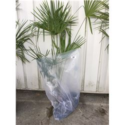 WINDMILL PALM TREE (BARE ROOT READY FOR RE-PLANTING) FF