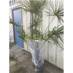 WINDMILL PALM TREE (BARE ROOT READY FOR RE-PLANTING) GG