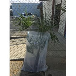 WINDMILL PALM TREE (BARE ROOT READY FOR RE-PLANTING) II