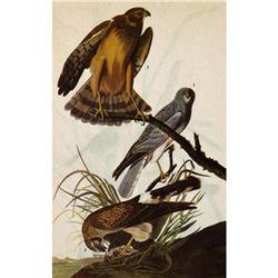 c1946 Audubon Print, Marsh Hawk, #356