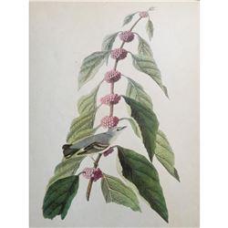 c1946 Audubon Print, #49 Cerulean Warbler