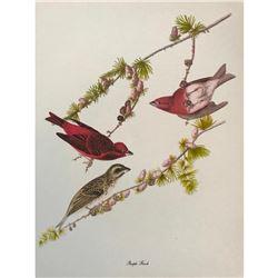 c1950 Audubon Print, Purple Finch