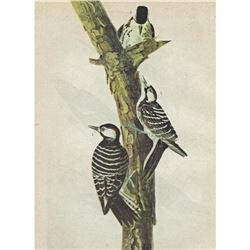 c1946 Audubon Print, #389 Red-Cockaded Woodpecker