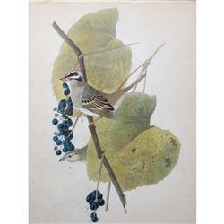 c1946 Audubon Print, White-Crowned Sparrow