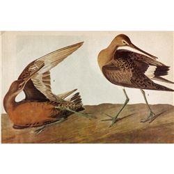 c1946 Audubon Print, #258 Hudsonian Godwit