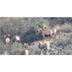Arizona Commission Rocky Mountain Bighorn Sheep