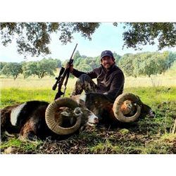 Iberian Mouflon Hunt in Spain