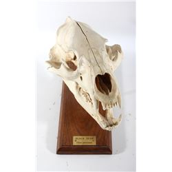 Mounted Montana Black Bear Skull