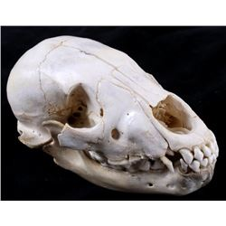 Montana Black Bear Cub Taxidermy Skull