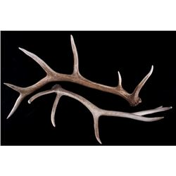 Montana Trophy Elk Antler Set of 2