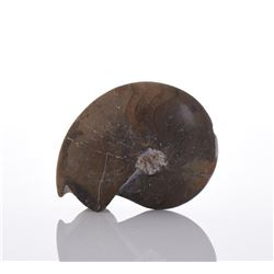Ammonite Fossil.