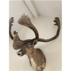 OUTSTANDING NORTH AMERICAN  CARIBOU SHOULDER MOUNT