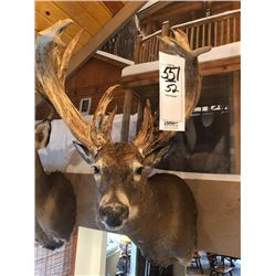 NON TYPICAL WHITETAIL DEER/SHOULDER MOUNT