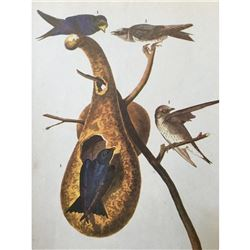 c1946 Audubon Print, #22 Purple Martin