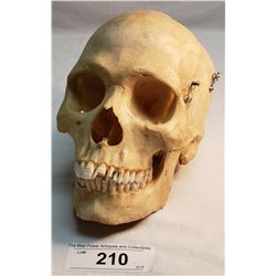 Genuine Human Medical Skull