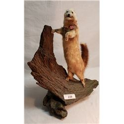 Vintage Taxidermy Weasel On Stand