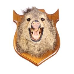 Trophy Boar Shoulder Mount