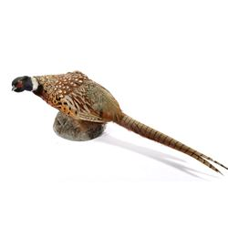 Montana Taxidermy Pheasant Mount