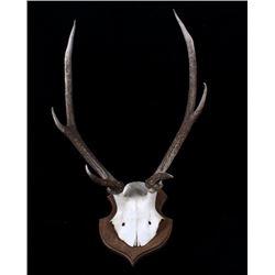 West Germany Roe Deer Antlers on Plaque