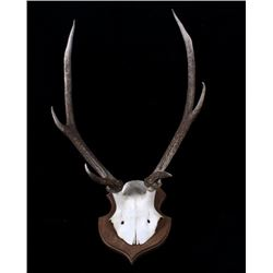 West Germany Roe Deer Antlers on Plaque