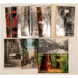 Muir Woods, CA Postcards  (103199)