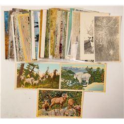 Buffalo and Mountain Sheep Postcards  (102668)