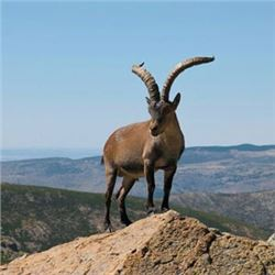 6 Day Becenti Ibex Ibex hunt for 2 Hunters with Spain Hunting Ibex – Includes 2 Becenti Ibex