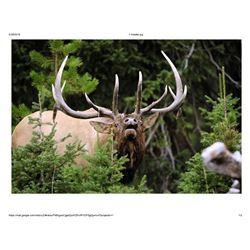 Trophy Bull Elk or Trophy Mule Deer or Coues white tailed Deer in New Mexico:Winning Bidders Choice