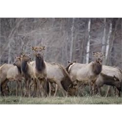 3 Day Unguided Guided Cow Elk Hunt for 1 hunter  on Vermejo Park Ranch