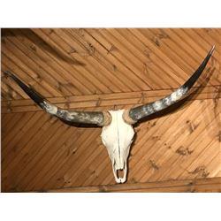 Longhorn Bleached Skull