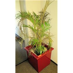 Live Plant w/ Large Acrylic Planter