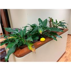 Qty 3 Live Plants