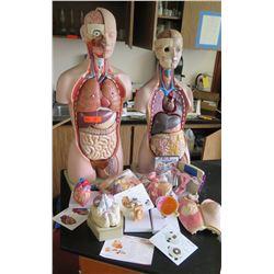 Human Anatomy Figures (RM-221)