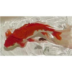 Koi Fish (Orange & White)