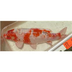 Koi Fish (White w/ Orange Markings)