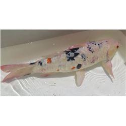 Koi Fish (White w/ Black Spots)