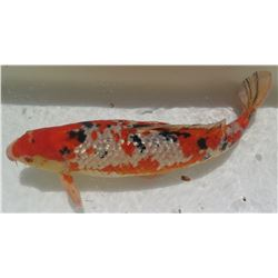 Koi Fish (Orange w/ White Markings & Black Spots)