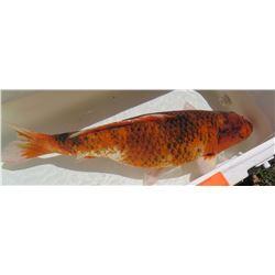 Koi Fish (Orange w/ Black Tones)