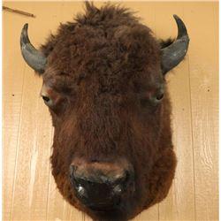Huge Buffalo Shoulder Mount