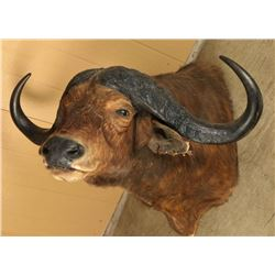 Massive Cape Buffalo Mount