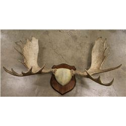 Huge Moose Horn Mount