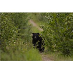 8 Day Spring Black Bear Hunt