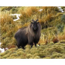 CHRIS MCCARTHY: 6-Day Bull Tahr Hunt for Two Hunters and Two Non-Hunters in New Zealand - Includes T